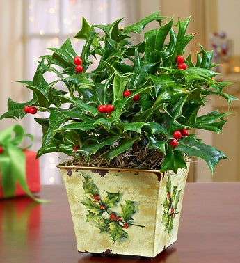 Vintage Holly Plant