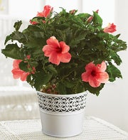 Tropical Pink Hibiscus