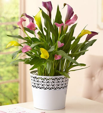 Multi-Color Calla Lily Plant