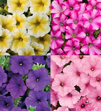 Proven Winners� Supertunia� Assorted 4-Pack