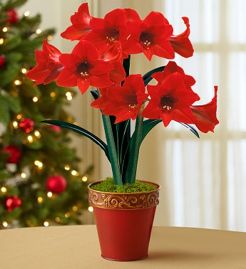 Good Cheer Amaryllis