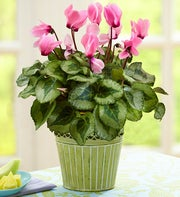 Summer Pink Cyclamen + Free Gardening Gloves