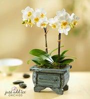 Asian Dance Orchid
