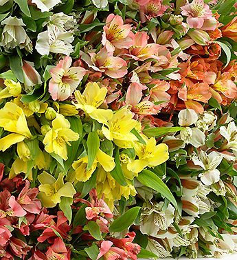 Assorted Peruvian Lilies, 400 Stems