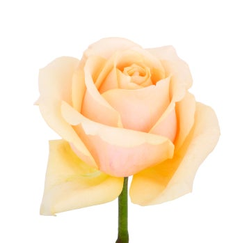 Butterscotch Roses- Special Order!