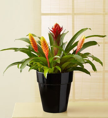 Red Flame Bromeliad
