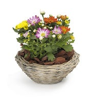 Basket of Mixed Chrysanthemum