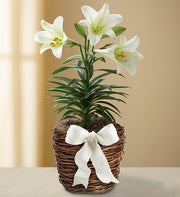 elegant blooming easter lily plant in basket