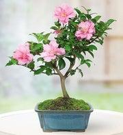 camellia bonsai plant