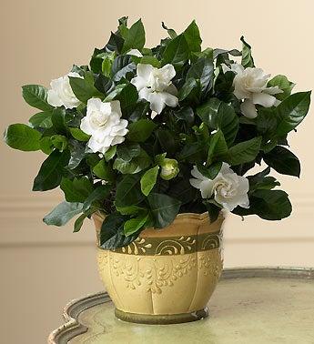 gorgeous gardenia plant