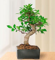 Golden Gate Ficus Bonsai