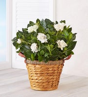 Sweet Gardenia