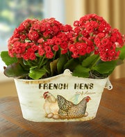 Country French Hens Kalanchoe