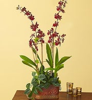 Crimson Shadow Orchid