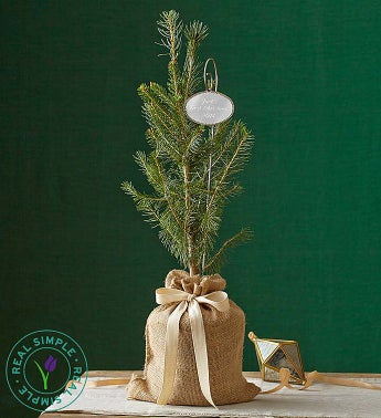 Real Simple� Colorado Spruce