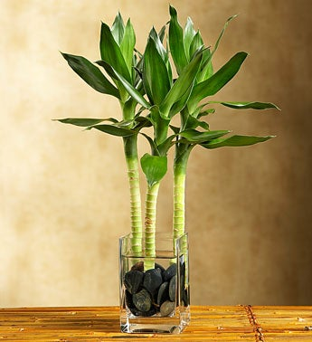 Lucky Bamboo